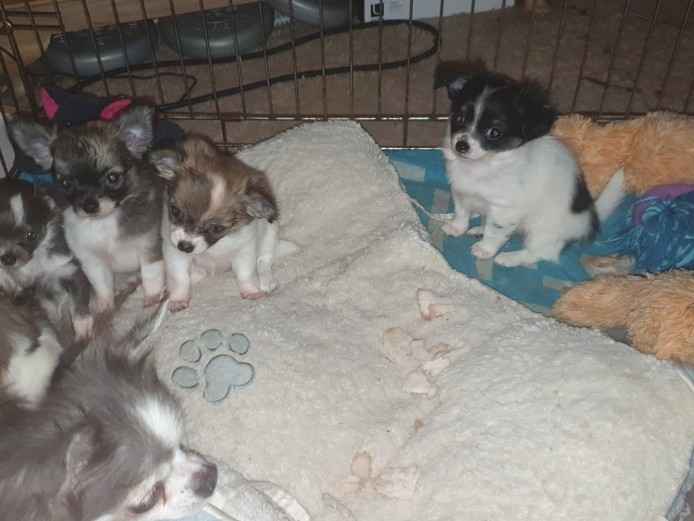 Kc reg chihuahua puppies available end of July. Fully vaccinated, chipped. Confident, playful little pups