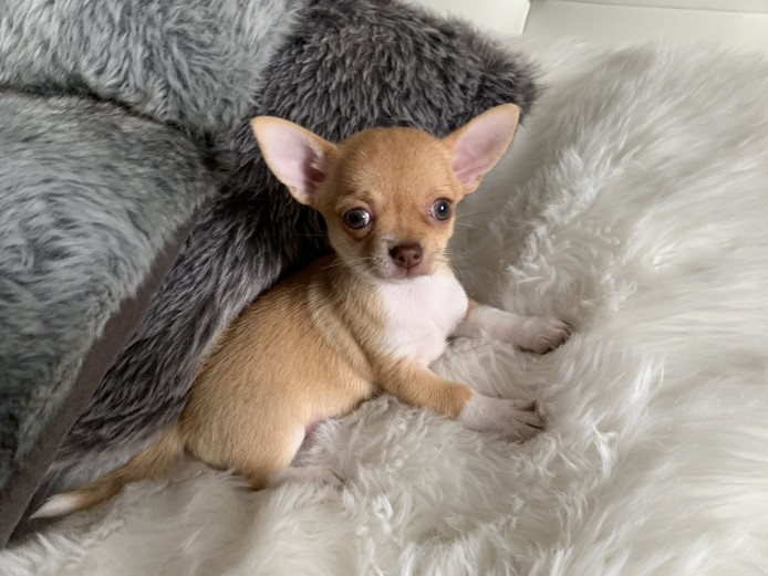 Pedigree Chihuahua Puppies, Ready For New Home