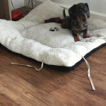 Gorgeous Kc registered pedigree dachshund boys