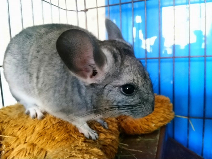 Baby brothers Chinchilla - Standard Grey
