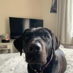 Missing female black Labrador