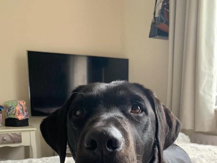 Missing female black Labrador