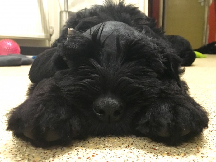 Black Giant Schnauzer Litter
