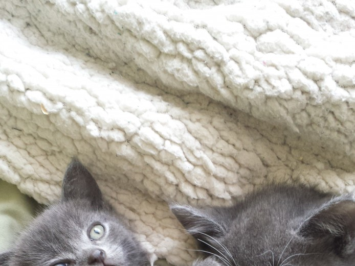 Grey Kittens all female