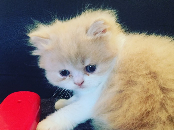 Two Persian kittens needing there new home x