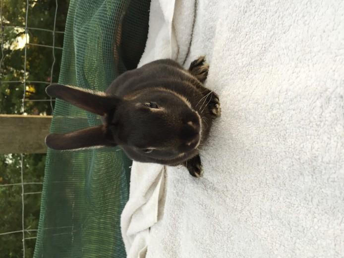 Stunning Purebred Black Otter Mini Rex