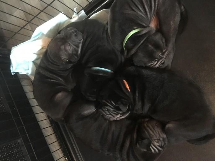 KC Registered Shar Pei Puppies.