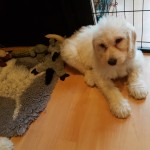 Last 3 f2 labradoodle puppies ready to go now