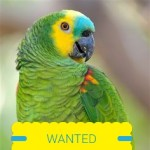 Amazon parrot wanted