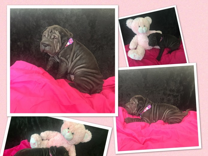 5 chunky shar pei cross pups ready now blue black beige
