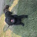 Kc Reg Black Labrador Puppies