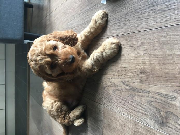 F1b 10 week old cockapoo boy