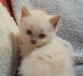 TICA Registered Ragdoll Kittens Ready From July