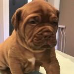 Beautiful Kc Dogue De Bordeaux Puppies