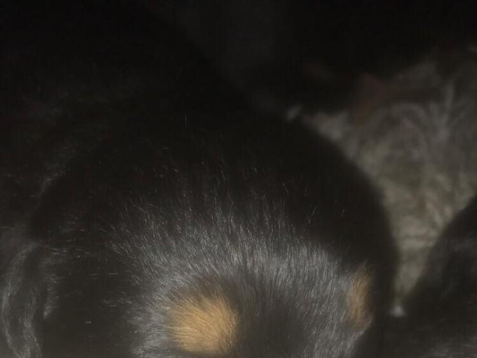 Stunning Rottweiler puppy's