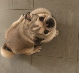 Pets for Sale - Male fawn pug