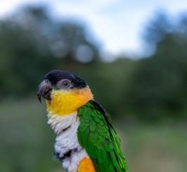 Black-headed caique parrot