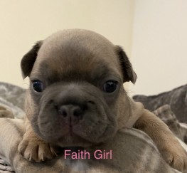 Pets  - French bulldog puppies