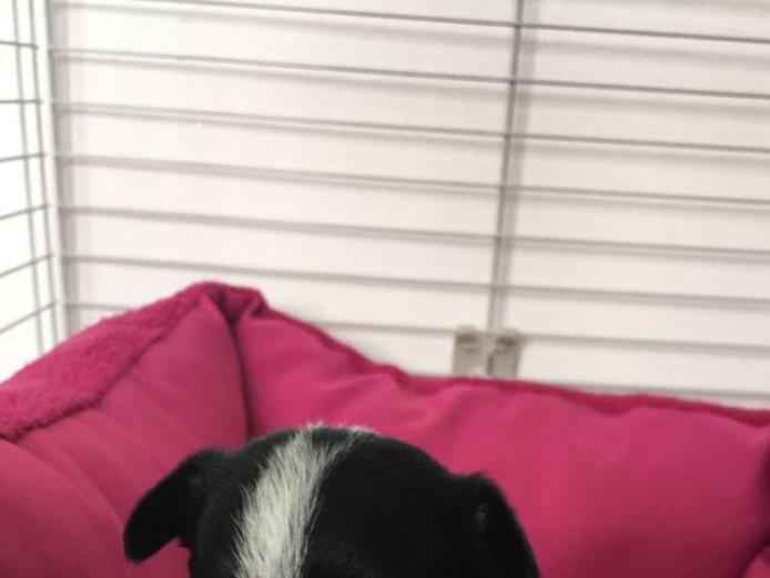 Chuiahaha x Jack Russell Pups