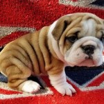 Cute and Beautiful and healthy bulldog puppies for sale