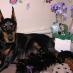adorable litters of awesome doberman