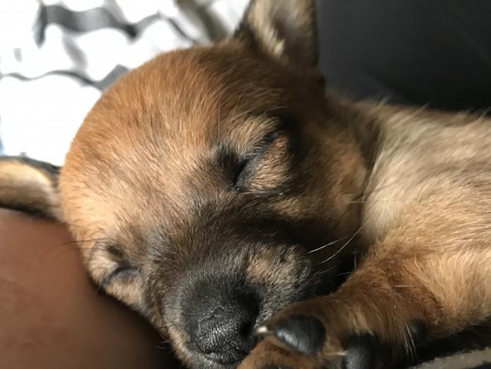 Beautiful Jackhuahua Puppies