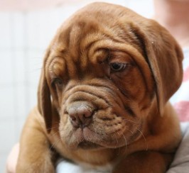 Champion Bloodline KC Dogue de Bordeaux