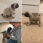 BEAUTIFUL KC REGISTERED PUG PUPPIES *READY TO LEAVE IN 2 WEEKS*
