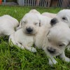 Pets for Sale - KC Registered Golden Retriever Puppies