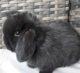 Male mini lop rabbit for sale