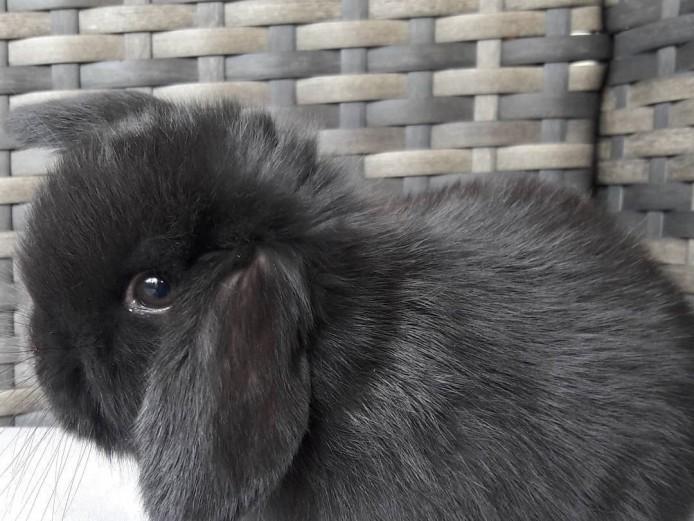 Male mini lop rabbit for sale