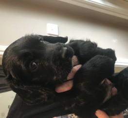 Pets  - Sprocker pups