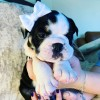Pets  - Beautiful english bulldogs