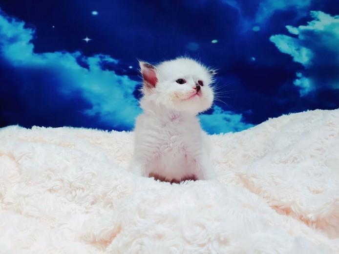 Pedigree Ragdoll Kittens Active / Non Active