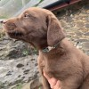 Pets  - Four KC Registered Chocolate Labradors