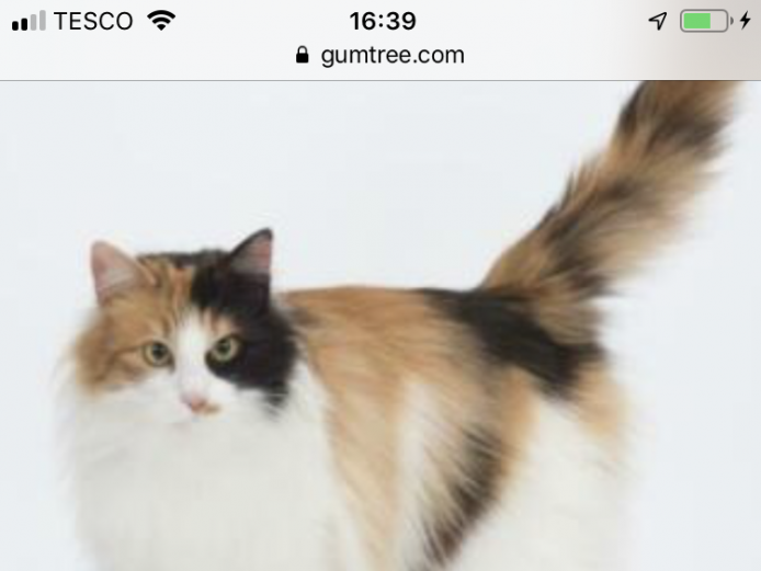 Rare Tica registered Aphrodite Giant Kittens