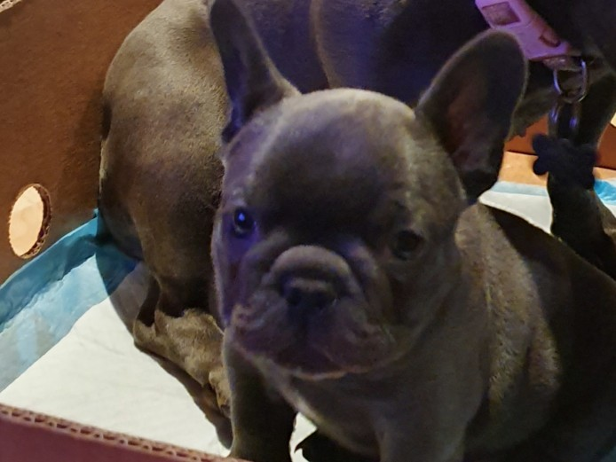 Blue French Bulldog Dog Puppy
