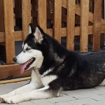 Siberian Husky Puppies Due To Be Born Mid June