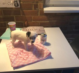Pets  - Beautiful Jack chi puppy for sale £1500