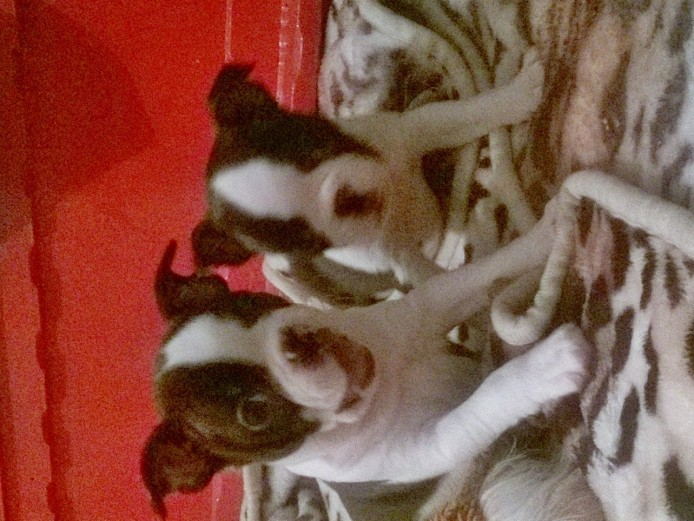 kc registered Boston terrier puppies