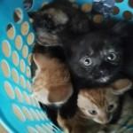 Ginger , Ginger and White and Tortoiseshell kittens for sale