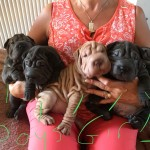 Shapei puppies for sale Wales