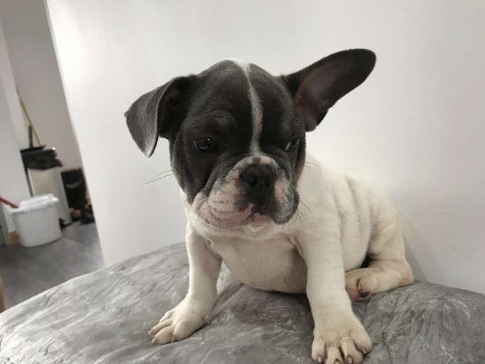French bulldog pup blue tan poss Choc