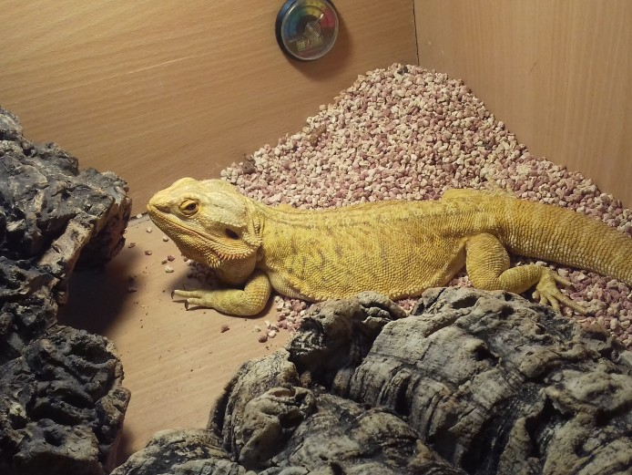 Female Bearded Dragon For Sale
