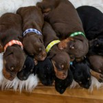Fully Health Tested Kc Dobermann Puppies