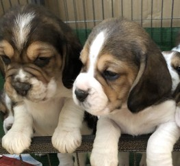 Pets  - Beagle puppies KC registered