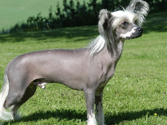 Wanted Chinese Crested