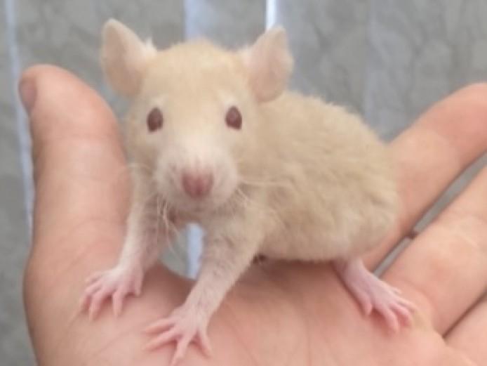 Fancy rat , Rex, Russian blue and dumbo
