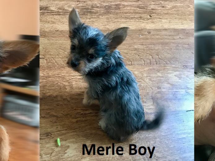x3 Boy Chihuahuas For Sale 9 Weeks Old