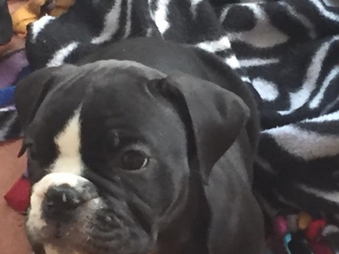 Victorian Bulldogs for Sale - Must See